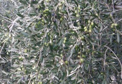 monocultivar taggiasca