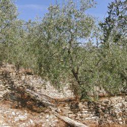 Cultvar-Taggiasca- Imperia sui muri a secco