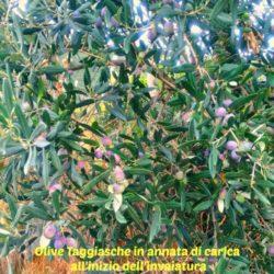 monocultivar vs blend Olive Taggiasche monocultivar nella provincia di Imperia