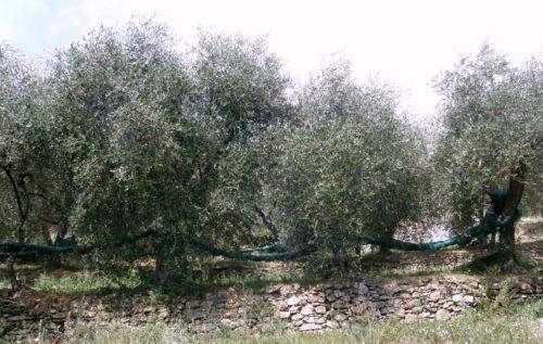 Cultivar oliva taggiasca a Pantasina